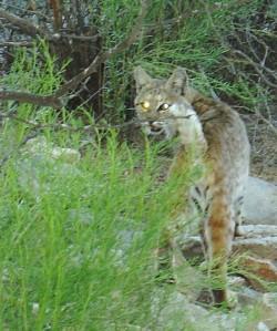 bobcat 4-12