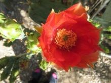 cactus flower 001