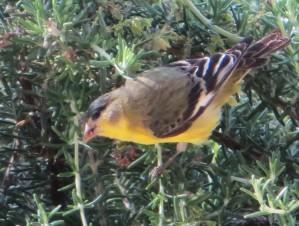 goldfinch 002