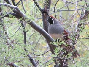 quail 004