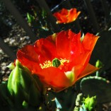 prickley pear2