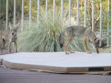 two coyotes 011