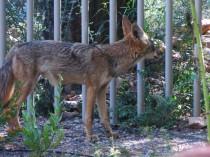 coyote 005