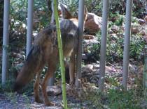coyote 006