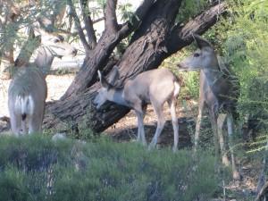 deer 015