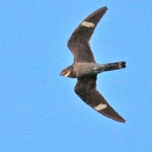 common_nighthawk