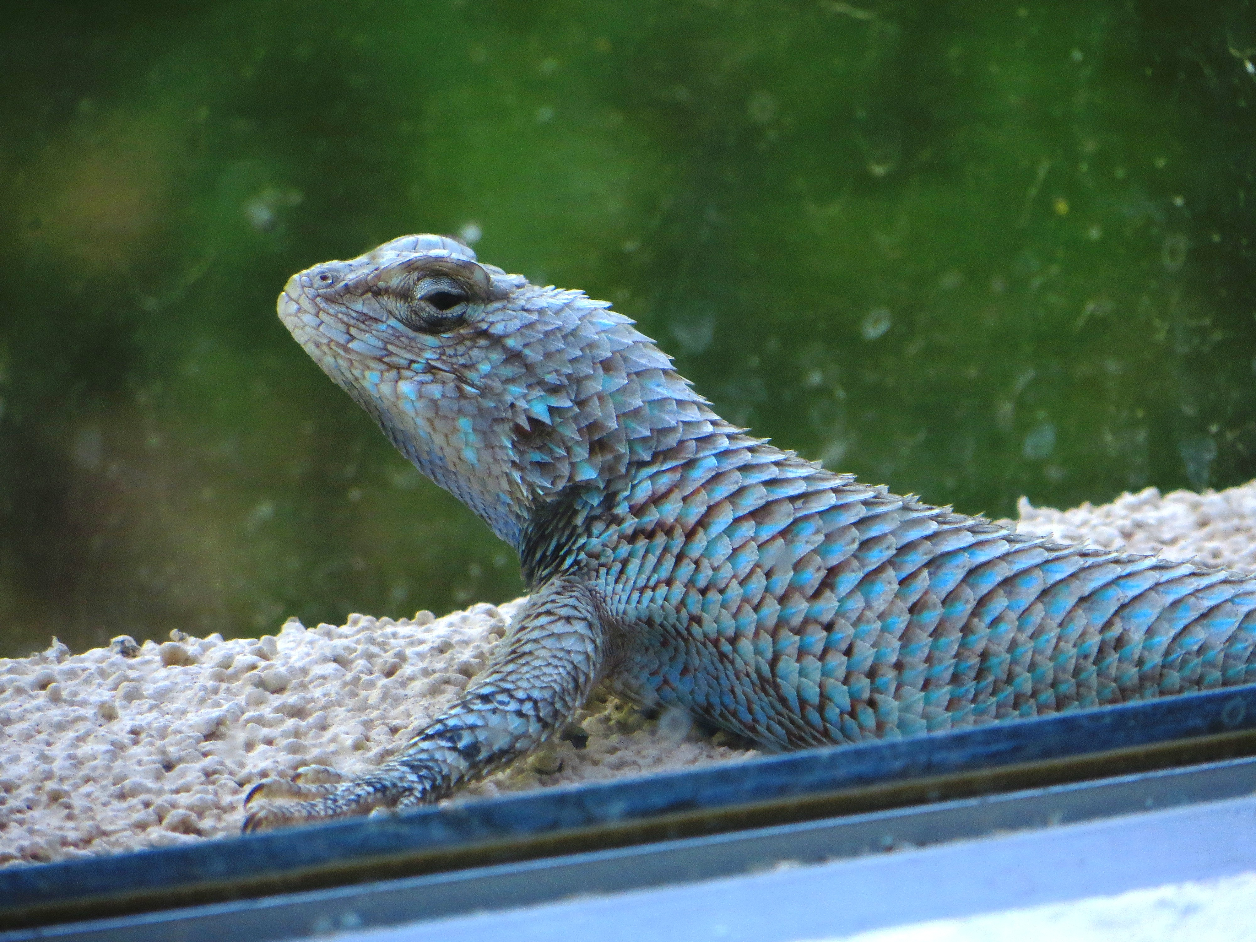 collared lizard notes from the west