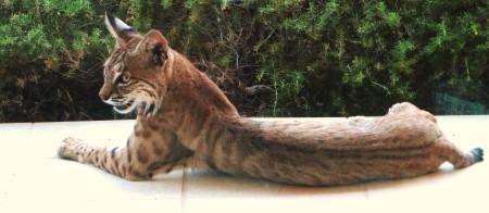 young bobcat 012