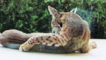 young bobcat 015