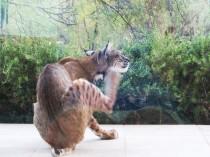young bobcat 019