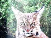 young bobcat 020