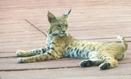 young bobcat 025