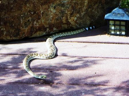 rattlesnake 011