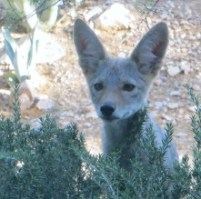 two coyotes 021