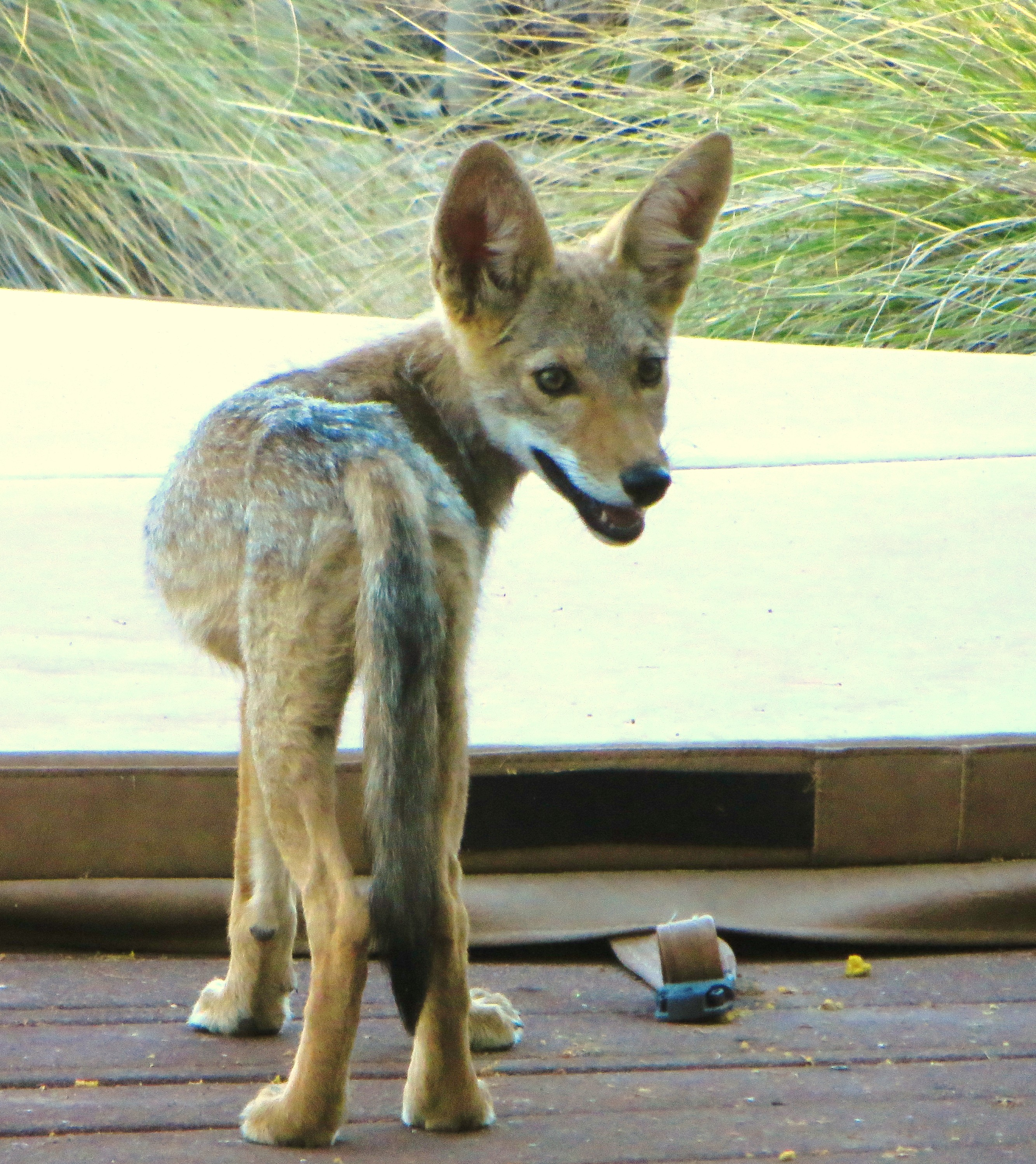 Coyote Pups Notes From The West
