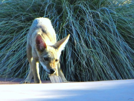 two coyotes 042