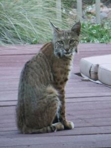 bobcats 009