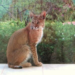 young bobcat 009
