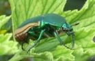 scarab_beetle