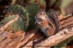 Antelope-squirrel