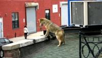 queens-coyote